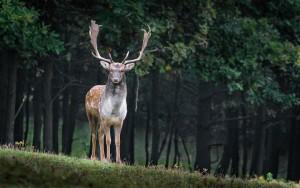 fallow-deer-984573_960_720